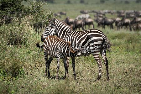 plains zebra nursing foal by great