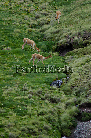 vicunas vicugna vicugna in lauca national