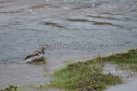 juvenile chilean torrent duck merganetta armata