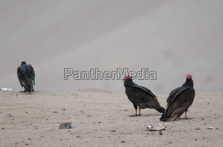 turkey vultures cathartes aura in the