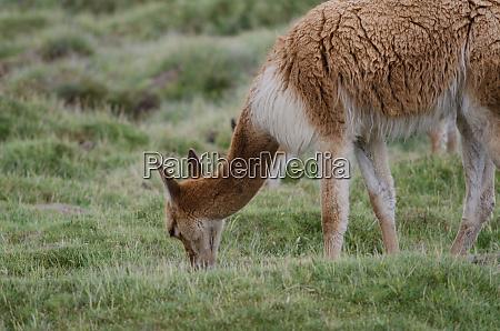 vicuna vicugna vicugna grazing in a