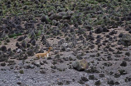vicuna vicugna vicugna resting in lauca