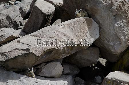 southern viscachas lagidium viscacia resting between