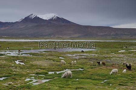 alpacas vicugna pacos grazing in a