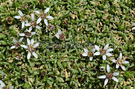 plant werneria aretioides in flower in