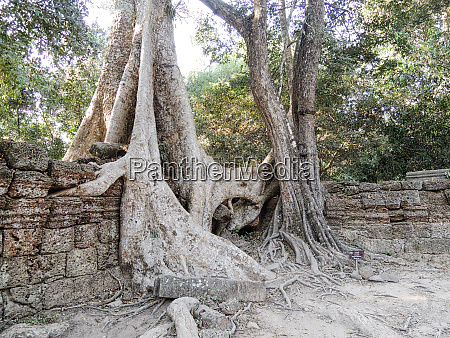 angkor wat tree roots into the
