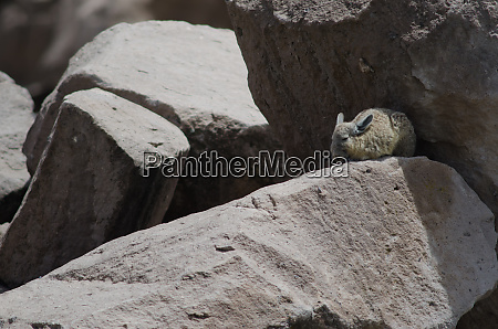 southern viscacha lagidium viscacia resting between