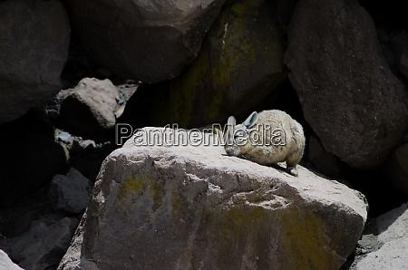 southern viscacha lagidium viscacia scratching and
