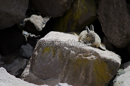 southern viscacha lagidium viscacia wiping coat