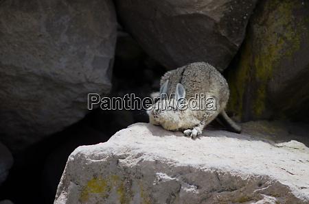 southern viscacha lagidium viscacia on a