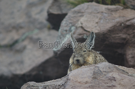 southern viscacha lagidium viscacia resting in