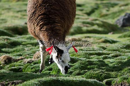 alpaca vicugna pacos grazing in a