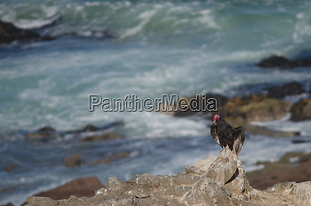 turkey vulture cathartes aura sunbathing on