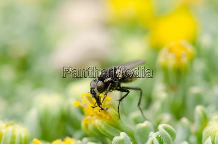 fly feeding on a flower in
