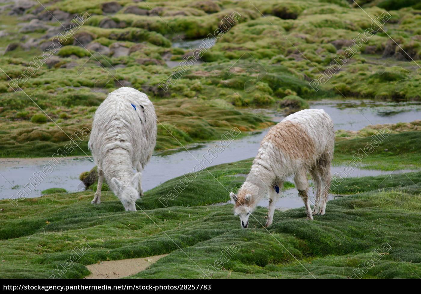alpacas, vicugna, pacos, grazing, in, a - 28257783