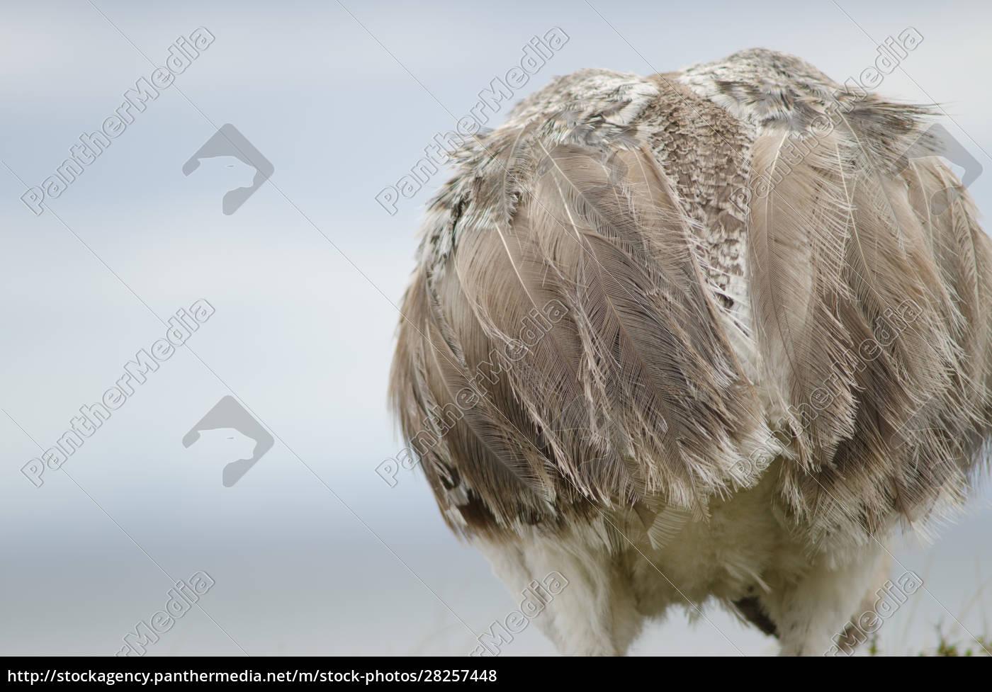 back, view, of, a, darwin's, rhea - 28257448