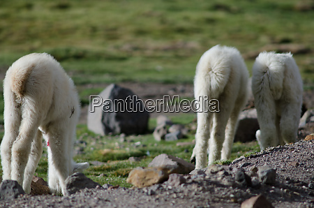 back, view, of, young, alpacas, vicugna - 28257966