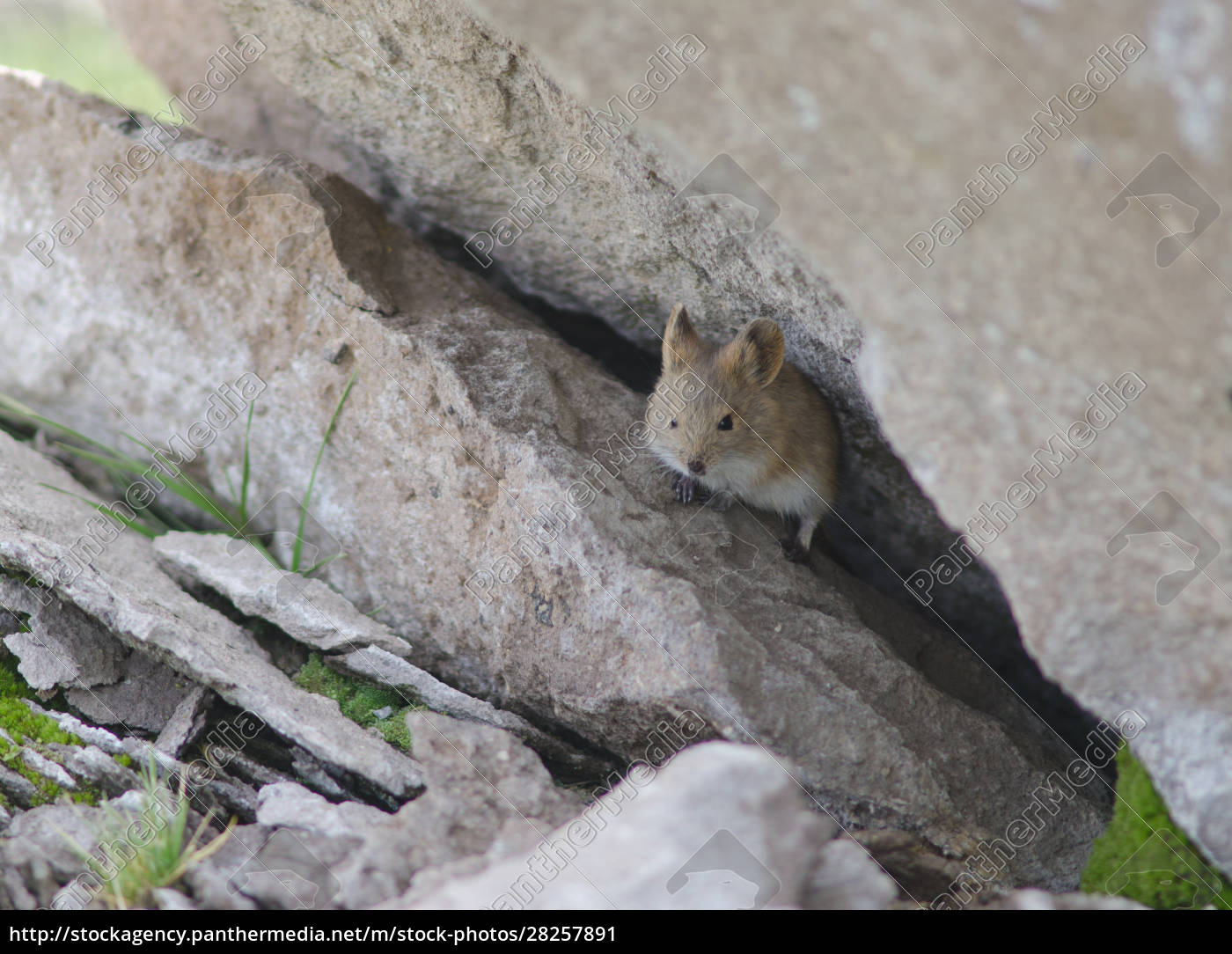 bolivian, big-eared, mouse, auliscomys, boliviensis, at - 28257891
