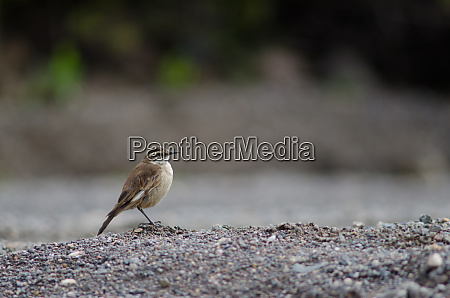 buff-winged, cinclodes, cinclodes, fuscus, on, the - 28257631