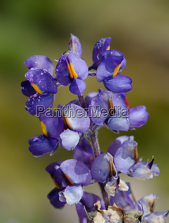 flowers, of, lupin, lupinus, oreophilus, cover - 28257855