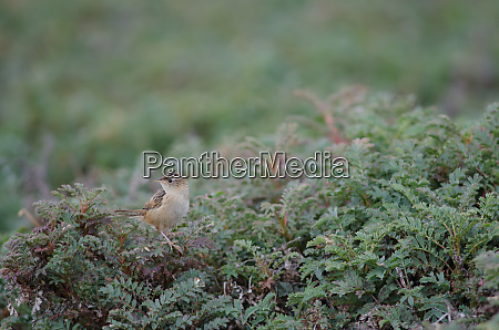 grass, wren, cistothorus, platensis, hornensis, on - 28257592