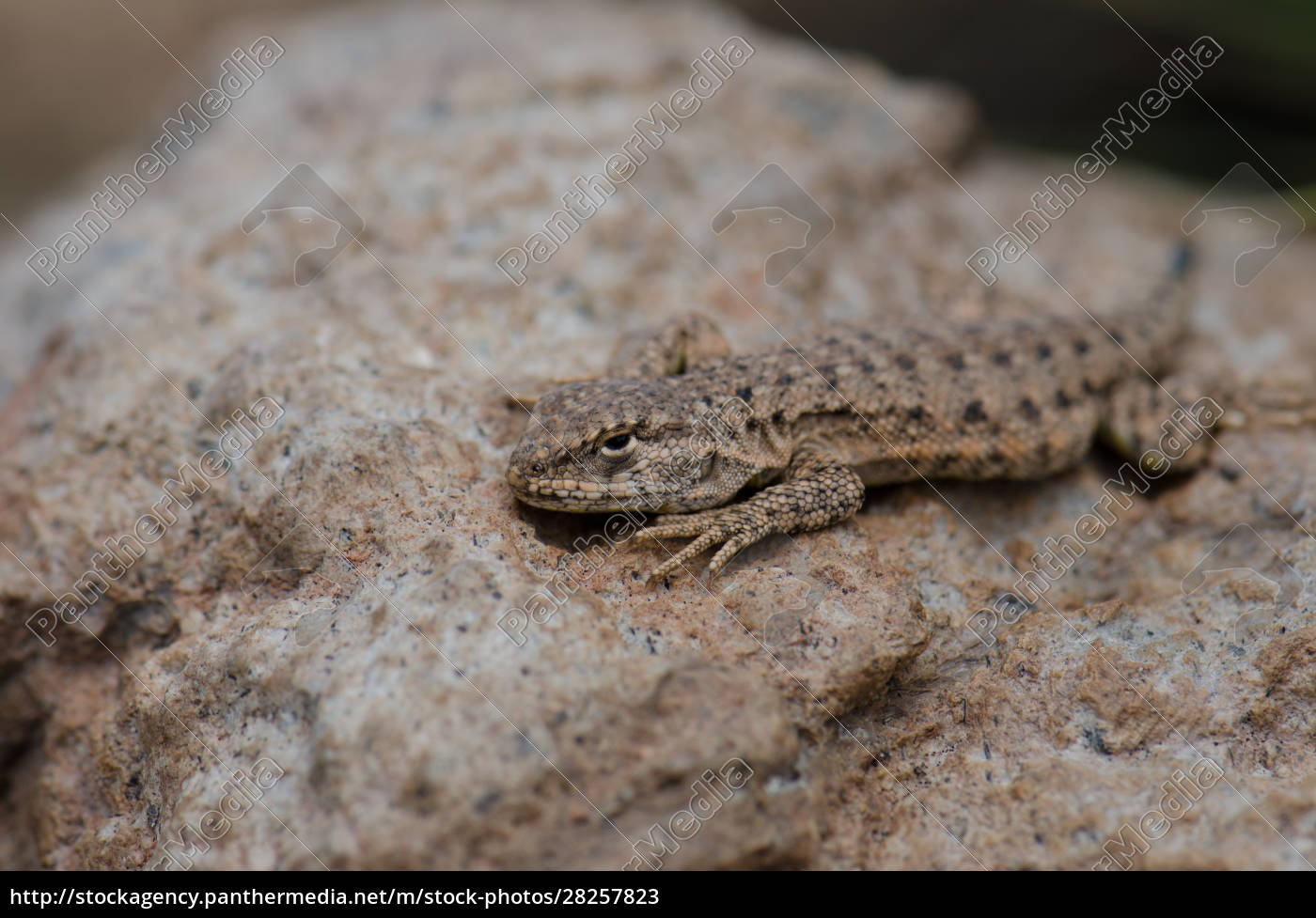 iguanian, lizard, liolaemus, sp., in, lauca - 28257823