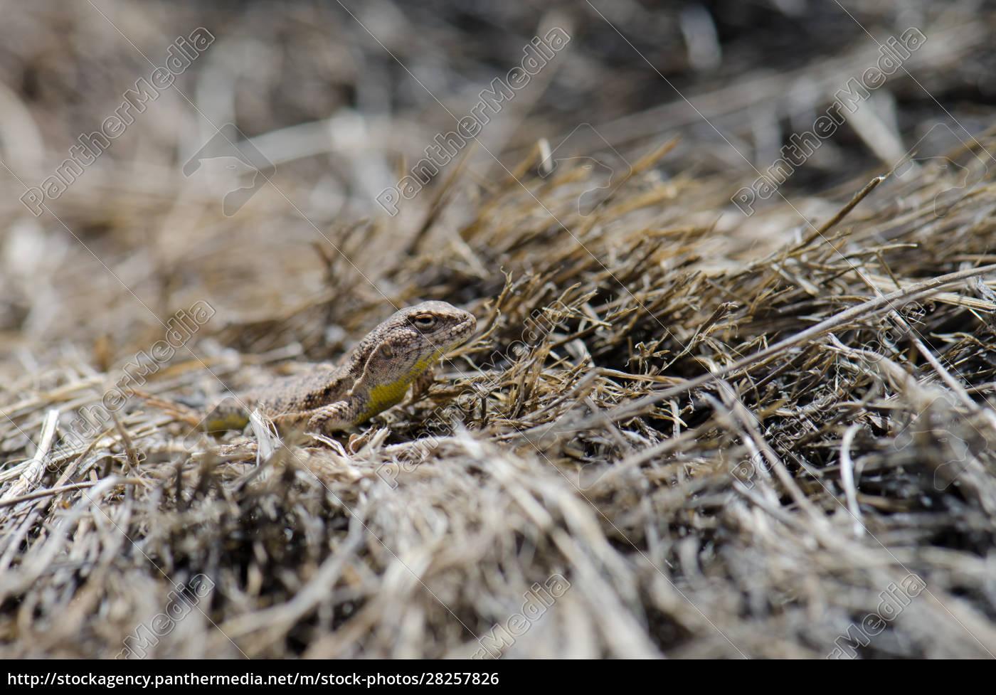 iguanian, lizard, liolaemus, sp., in, lauca - 28257826