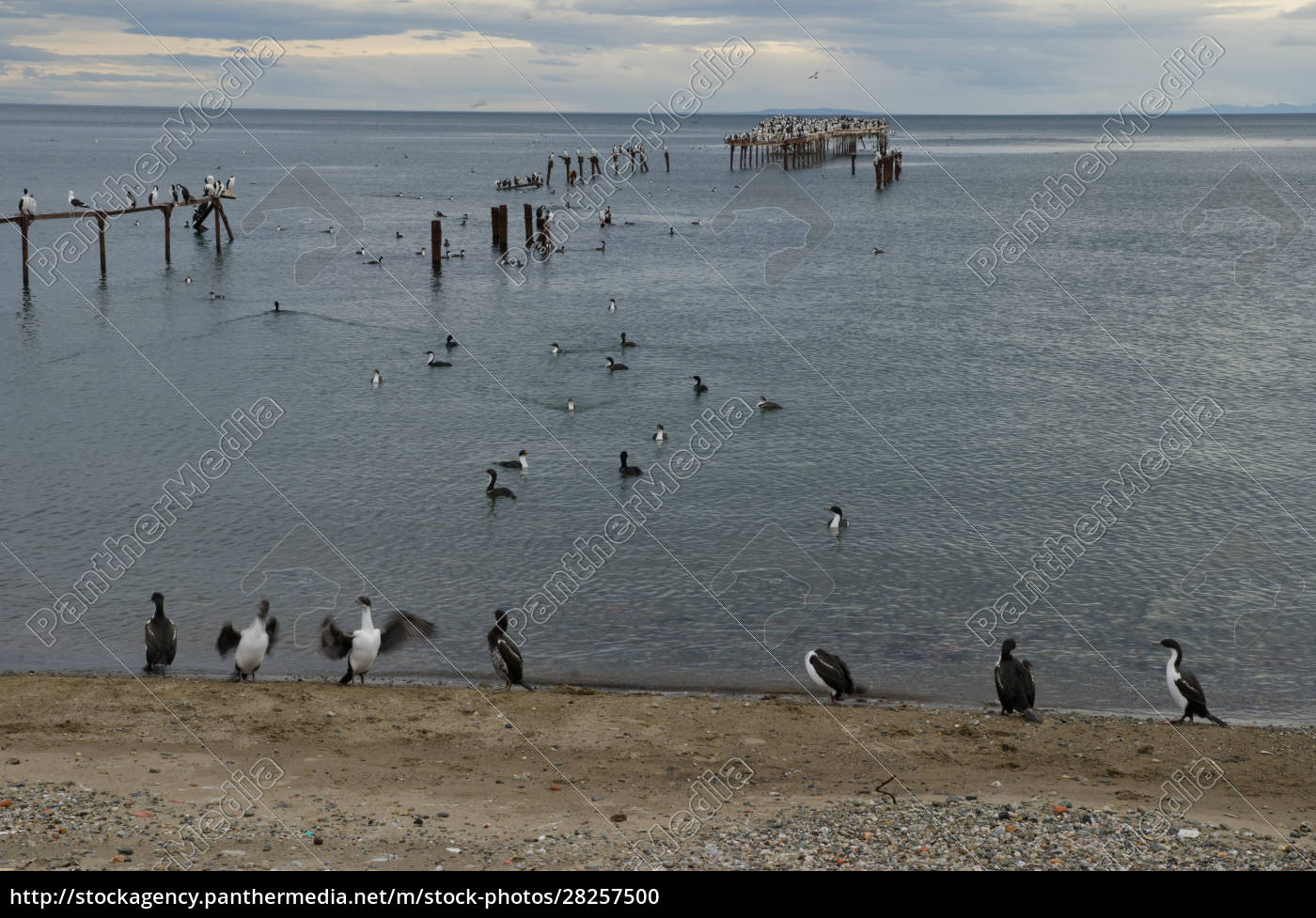 imperial, shags, in, the, coast, of - 28257500