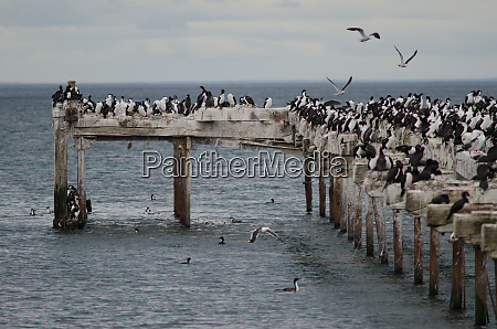 imperial, shags, leucocarbo, atriceps, in, the - 28257481