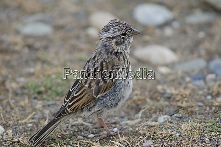 juvenile, rufous-collared, sparrow, in, the, otway - 28257467