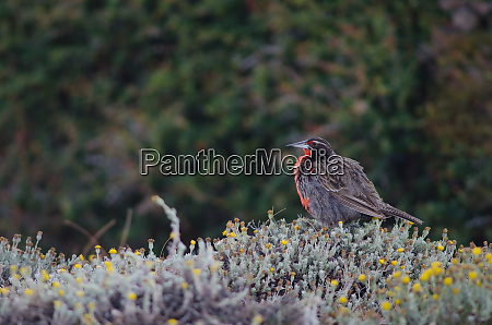 long-tailed, meadowlark, leistes, loyca, on, the - 28257593