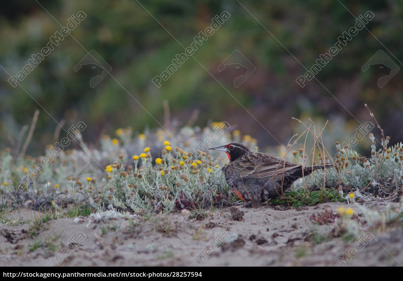 long-tailed, meadowlark, leistes, loyca, on, the - 28257594
