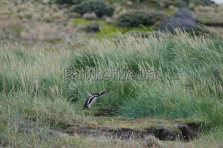magellanic, penguin, in, the, otway, sound - 28257457