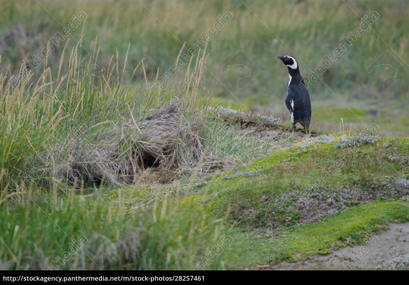 magellanic, penguin, in, the, otway, sound - 28257461