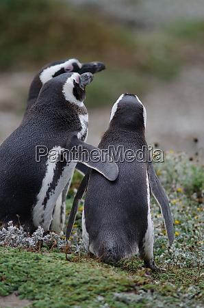 magellanic, penguin, in, the, otway, sound - 28257476