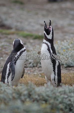 magellanic, penguin, in, the, otway, sound - 28257480