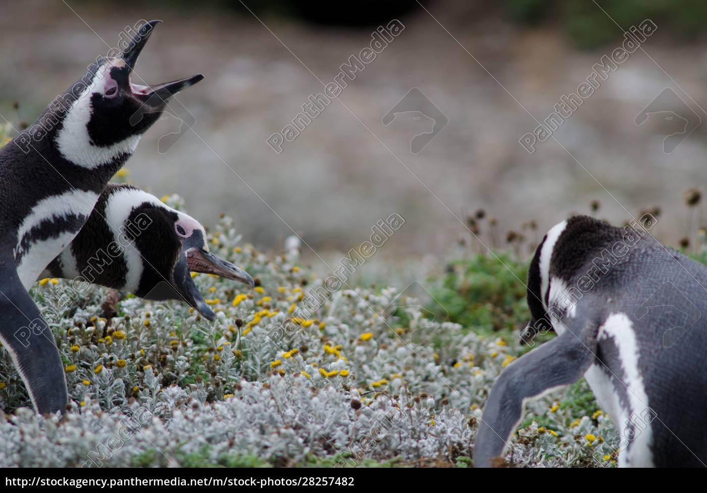 magellanic, penguin, in, the, otway, sound - 28257482
