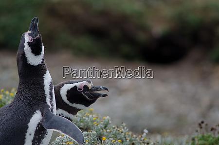 magellanic, penguin, in, the, otway, sound - 28257484