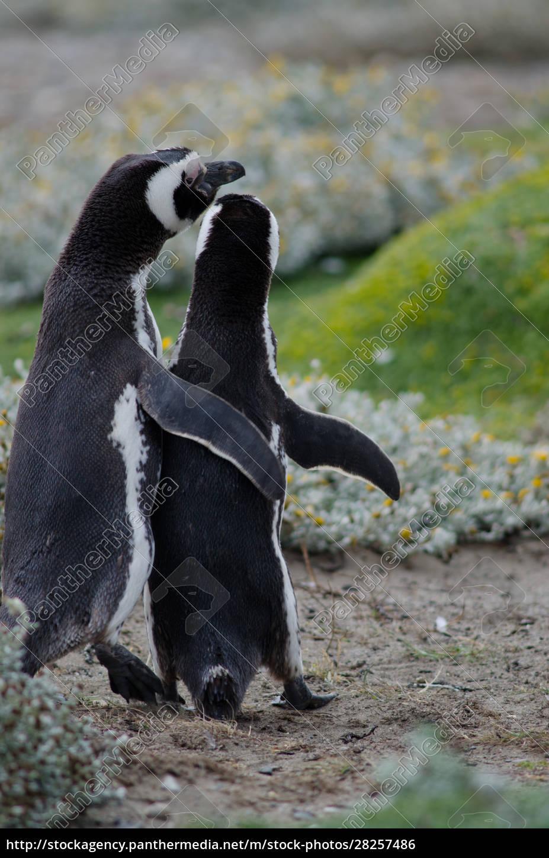 magellanic, penguin, in, the, otway, sound - 28257486