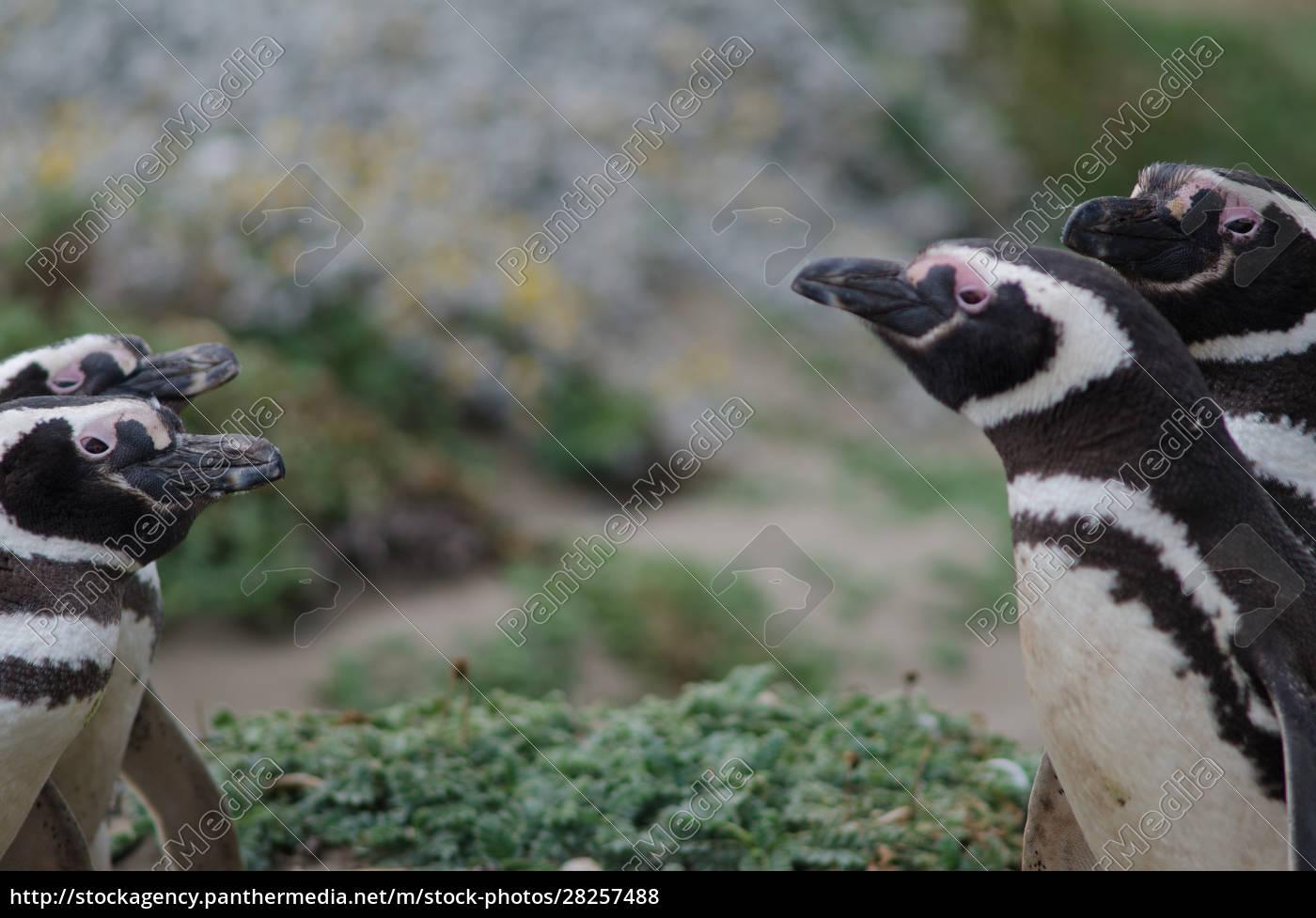 magellanic, penguin, in, the, otway, sound - 28257488