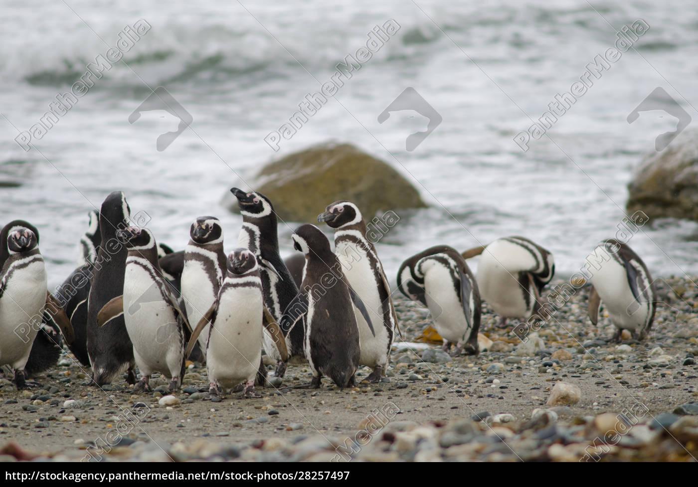 magellanic, penguins, in, the, otway, sound - 28257497