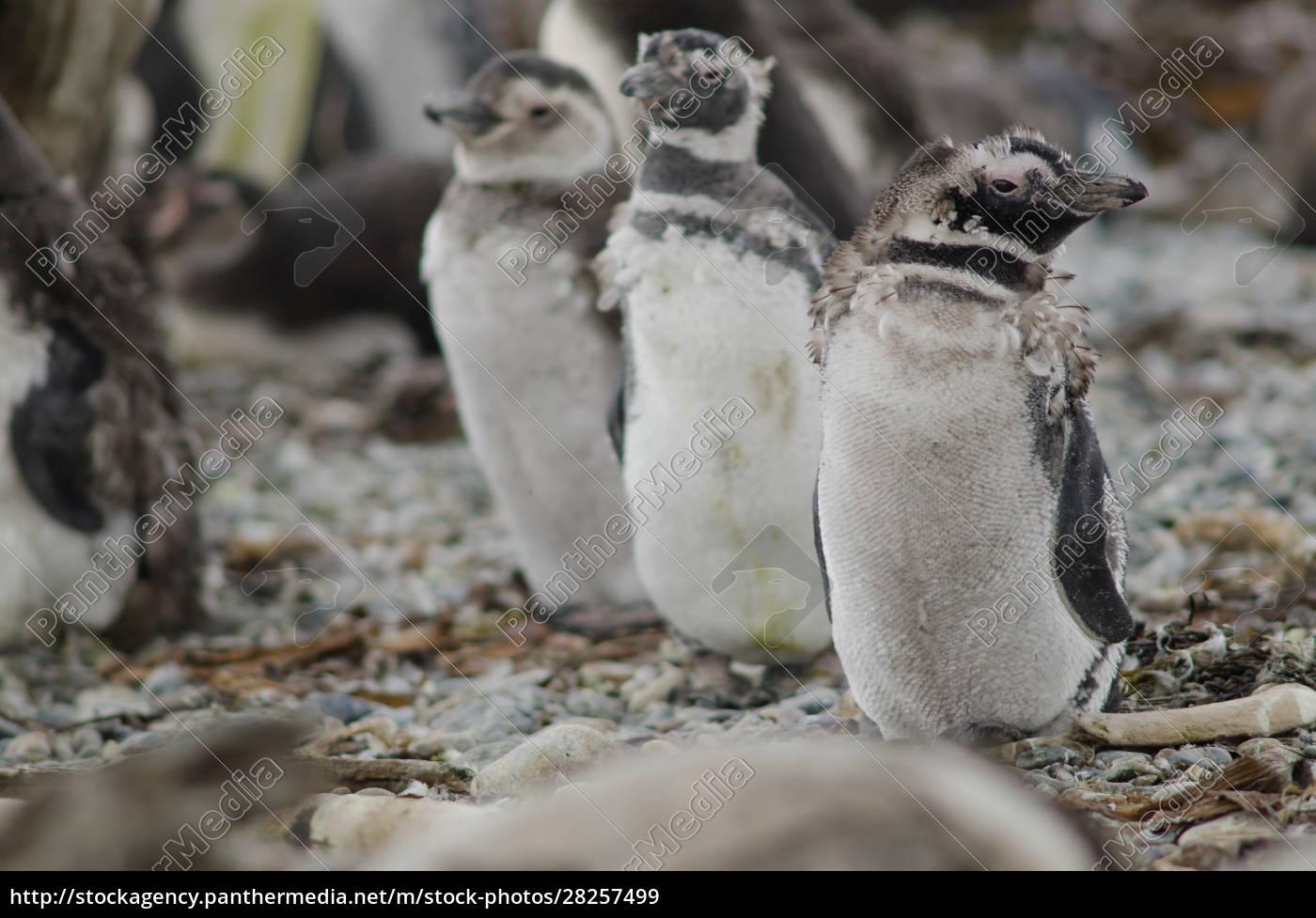 magellanic, penguins, in, the, otway, sound - 28257499