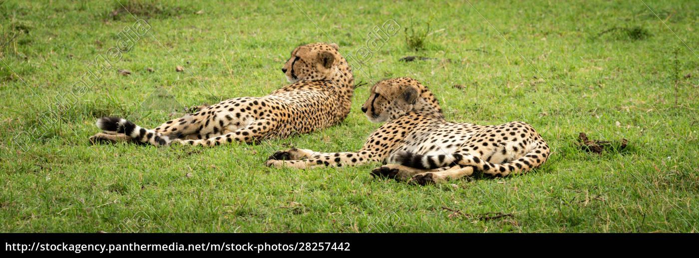 panorama, of, two, male, cheetah, lying - 28257442