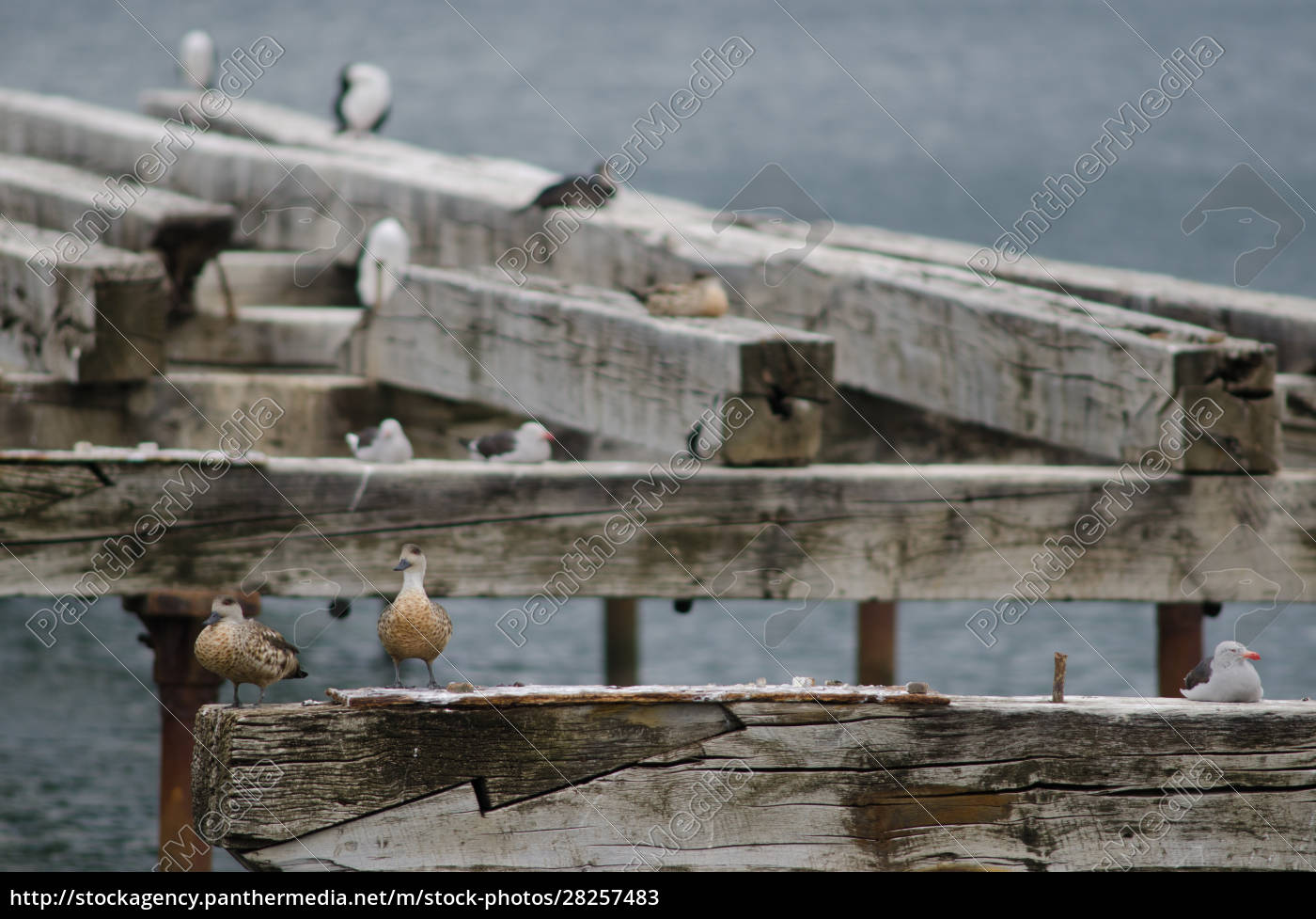 patagonian, crested, ducks, to, the, left - 28257483