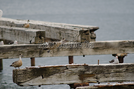 patagonian, crested, ducks, to, the, left - 28257608
