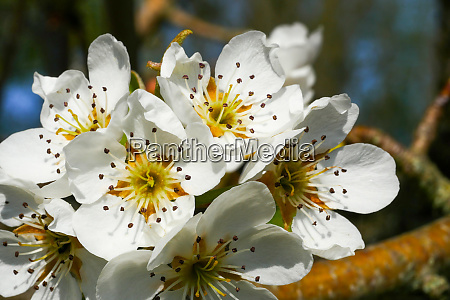 pear, blossom, in, spring - 28257515