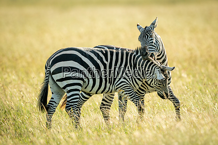 plains, zebra, bites, another, in, long - 28257530
