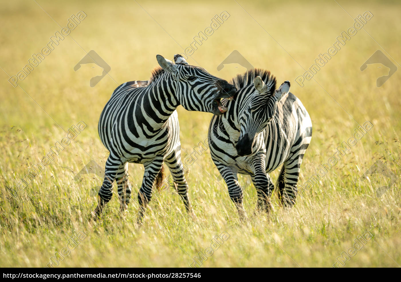 plains, zebra, biting, another, in, long - 28257546