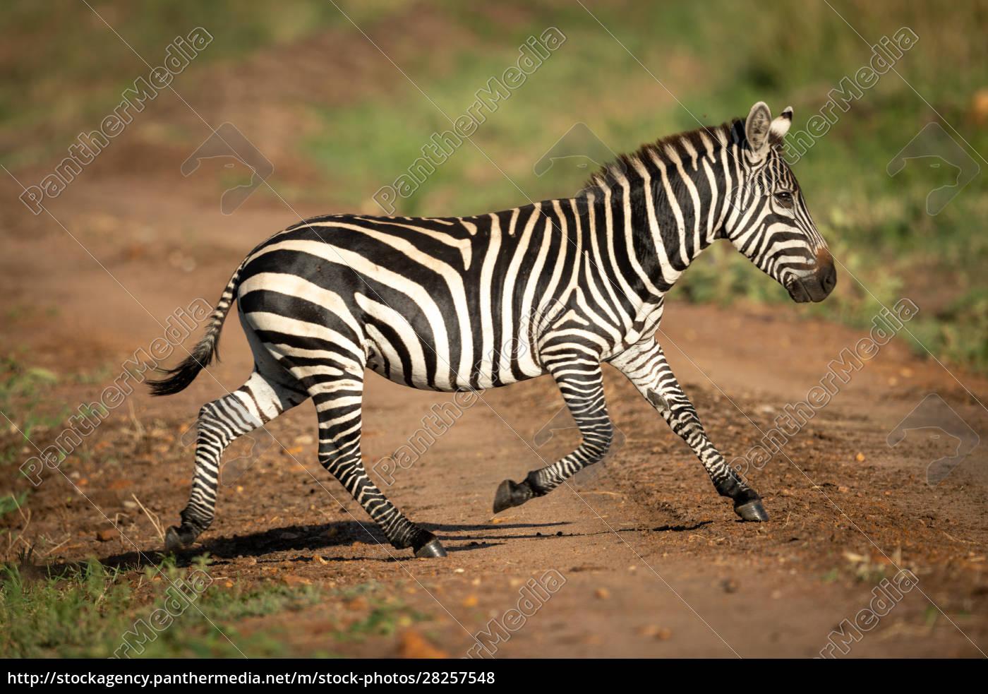 plains, zebra, crosses, dirt, track, in - 28257548