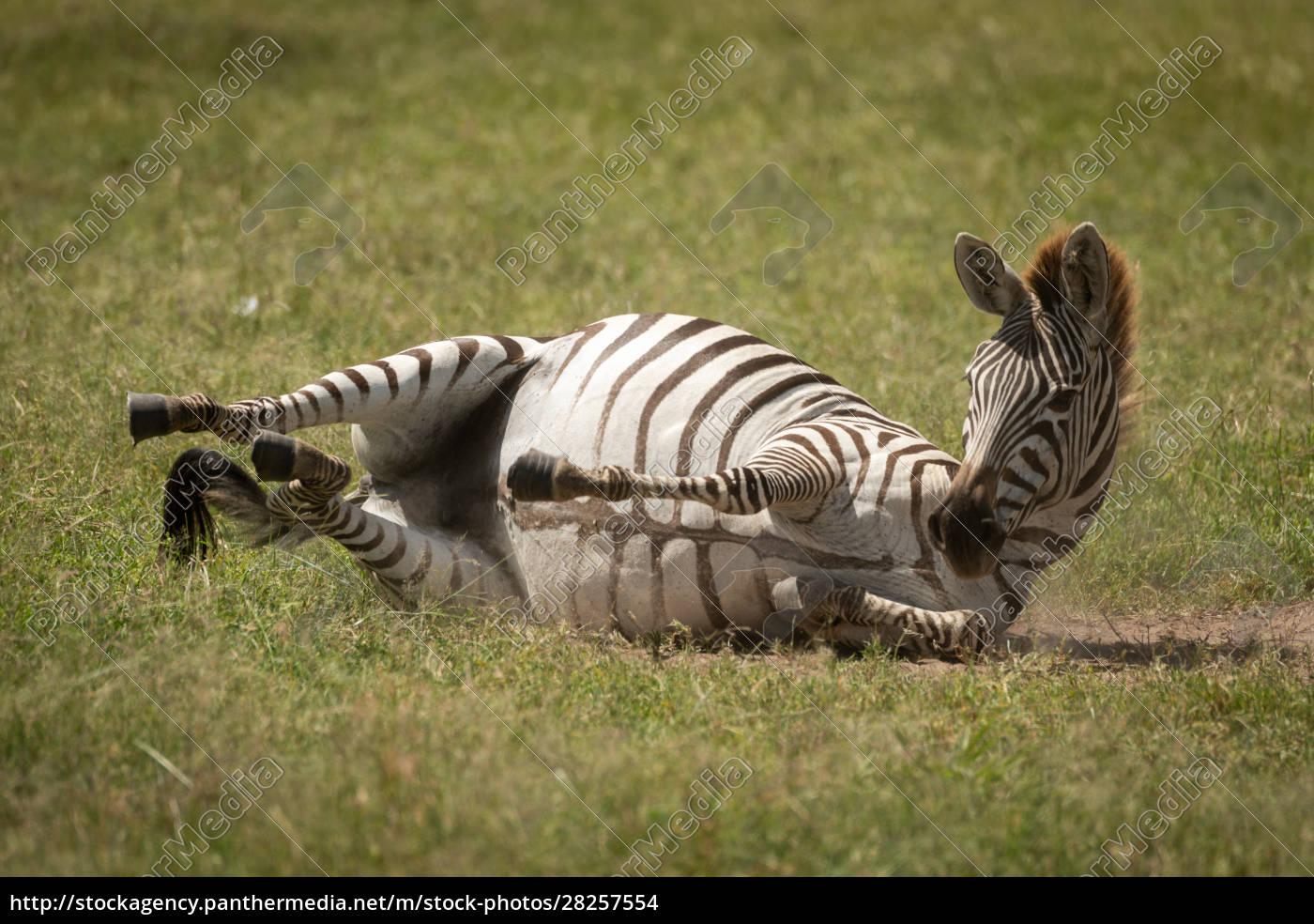 plains, zebra, enjoying, dust, bath, on - 28257554